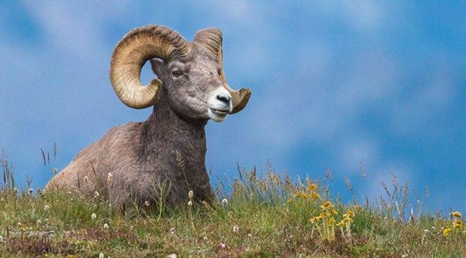 Legends of Voraniss: Riel the Ram
